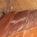 Einer unserer lieben Hausgeckos