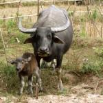 Mama und Baby Wasserbüffel