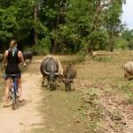 Wasserbüffel versperren einem den Weg