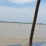 Irriwaddy Delphine in Kratie gesichtet