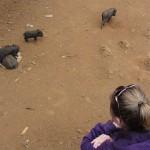 Babyschweindis im Alak Village