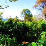 Teeplantage Bolaven Pateau