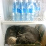 Papaya: schlafende Katzen im Kühlschrank