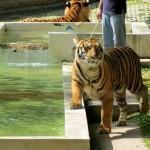 Big Tiger @ Tiger Kingdom