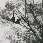 Gibbons!!!