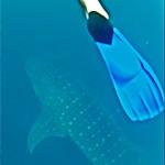 Whaleshark und eine Flosse