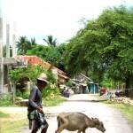 Kuta Lombok - kleiner Wasserbüffel