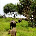 Wasserbüffel egal wohin man schaut :)