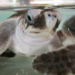 Kleine Schildi in der Schildkrötenaufzuchtstation