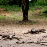 Faule Komodowarane