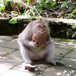 Der Affe und die Kokosnuss :) Monkeyforest Ubud